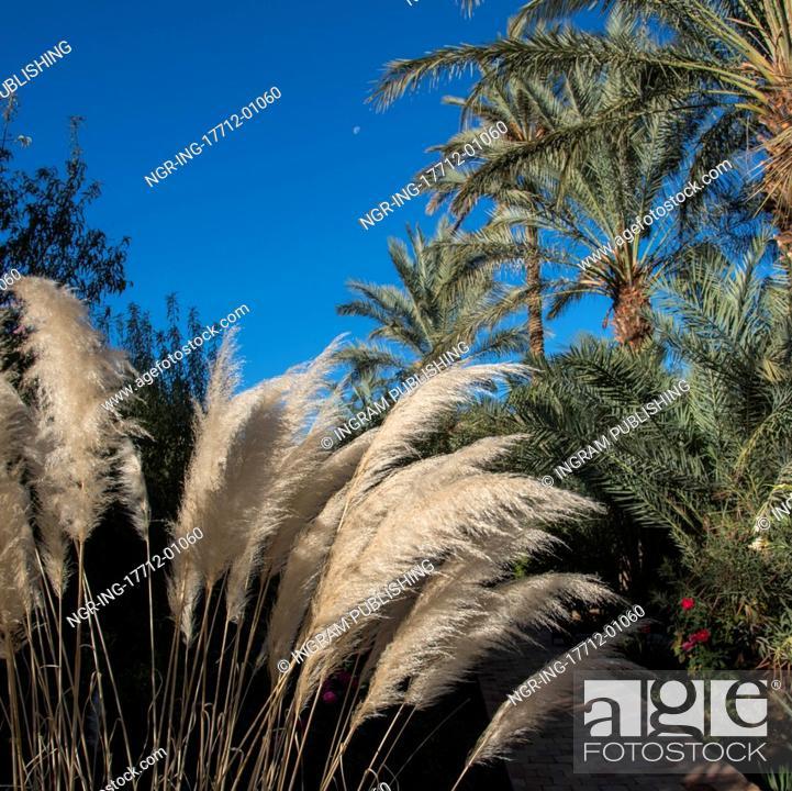 Stock Photo Common Reed And Palm Trees At Dar Qamar Agdz Morocco