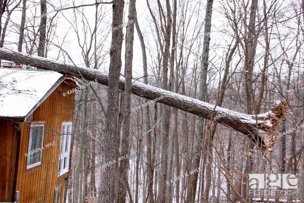 Imagen: uprooted fallen tree lying with roots showing on snow-covered roof of house with cedar exterior, top of frame of roof damaged, woods in background, Indiana.