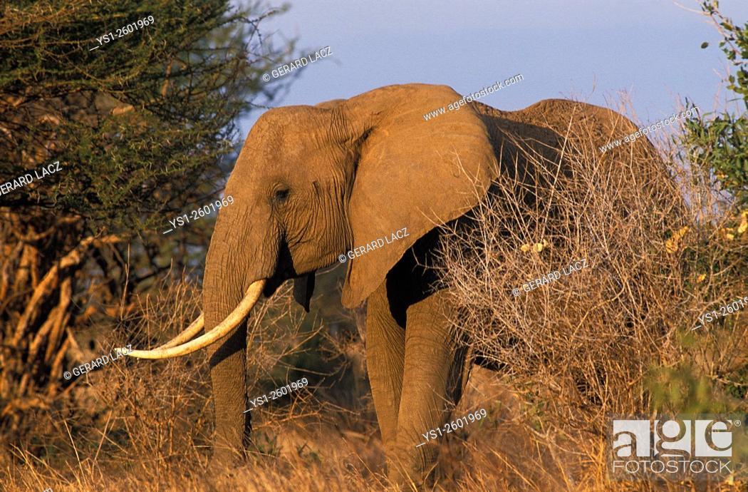 Stock Photo: African Elephant, loxodonta africana, Masai Mara Park in Kenya.