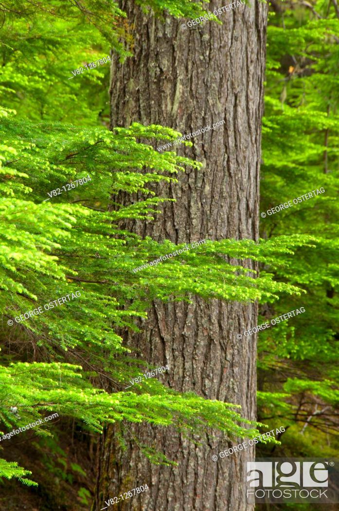 Stock Photo: Forest along Bear Creek Falls Trail, Glacier National Park, British Columbia, Canada.