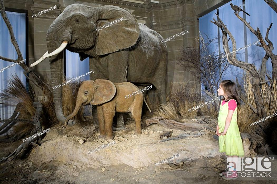 Stock Photo: Girl looking at elephants in a museum.