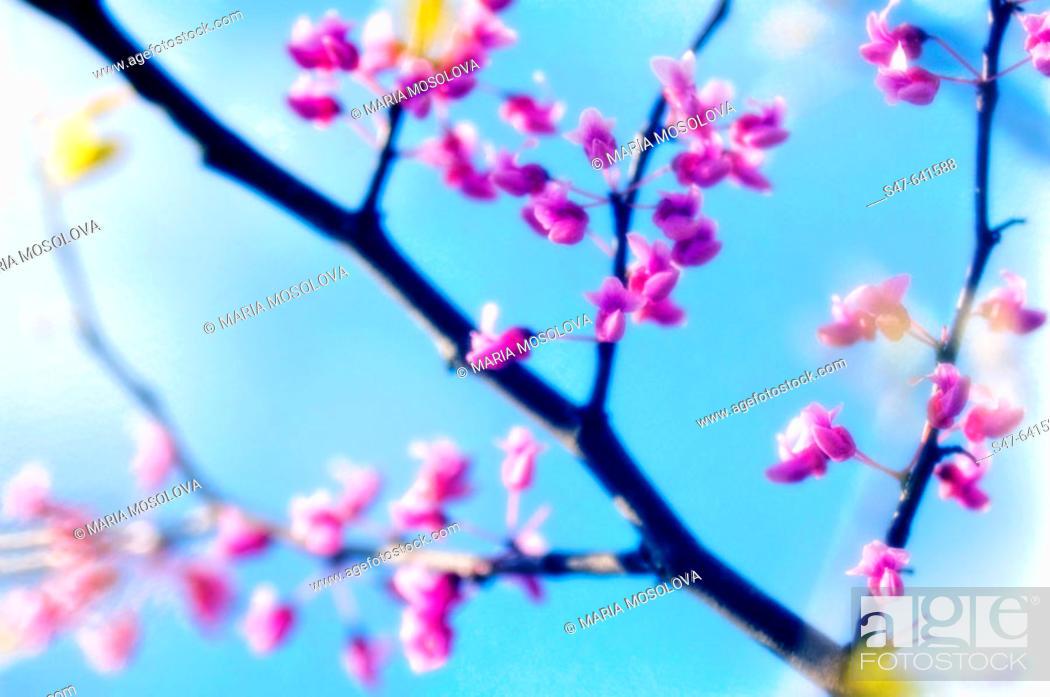 Stock Photo: Redbud Blossom. Cercis canadensis. April 2007. Maryland, USA.