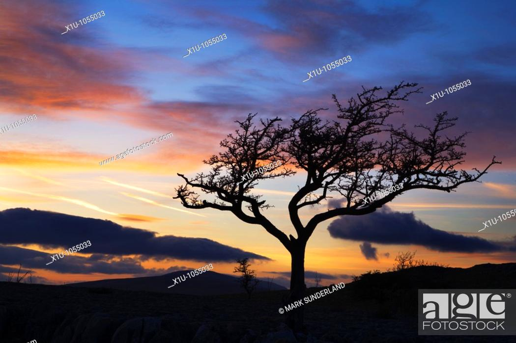 Stock Photo: Lone Tree at Sunset above Conistone in Wharfedale Yorkshire Engl.