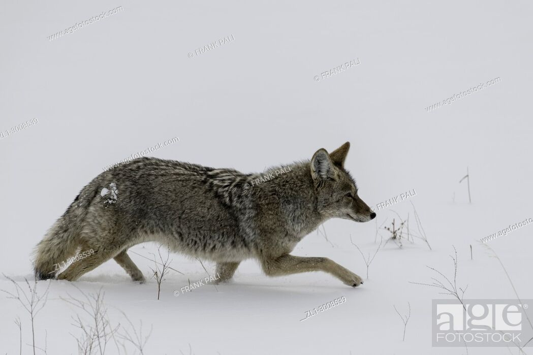 Stock Photo: Coyote hunting in Yellowstone National Park.. Wyoming, USA.