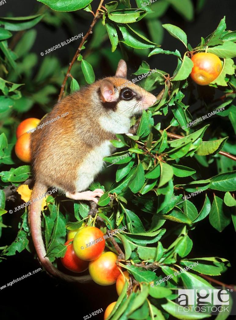 Stock Photo: garden dormouse - on apple tree / Eliomys quercinus.
