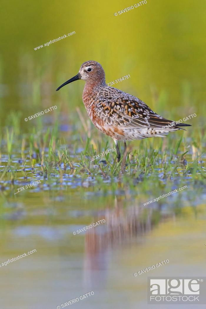 Stock Photo: Curlew Sandpiper, Adult standing in the water, Campania, Italy (Calidris ferruginea).
