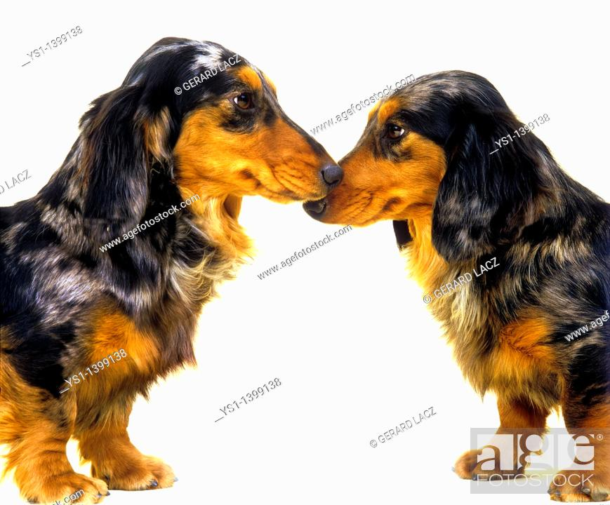 Stock Photo: Long-Haired Dachsund, Adults against White Background.