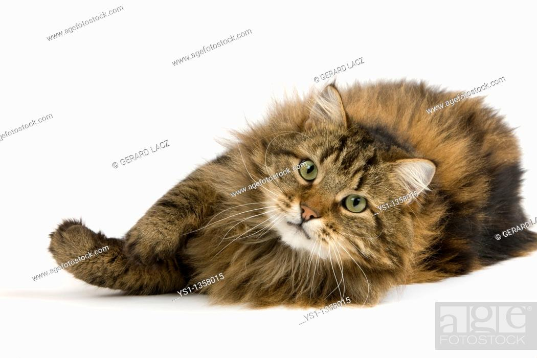 Stock Photo: ANGORA DOMESTIC CAT, MALE AGAINST WHITE BACKGROUND.