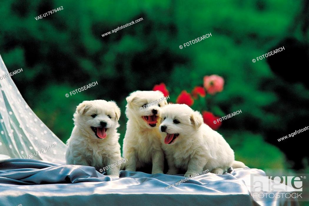 Stock Photo: loving, jindo dog, puppy, canines, domestic, cute, dog.