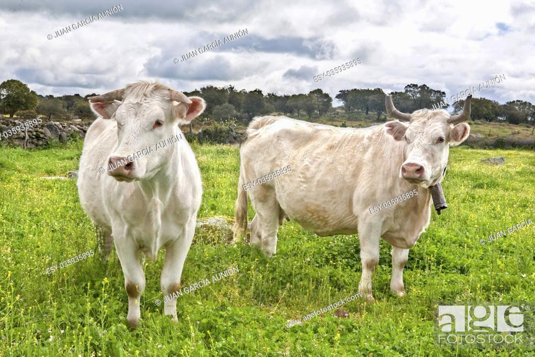 Stock Photo: Two charolais caws grazing at Salor countryside, Caceres, Spain. Charolais is a beef originated in Charolais, around Charolles, in France.
