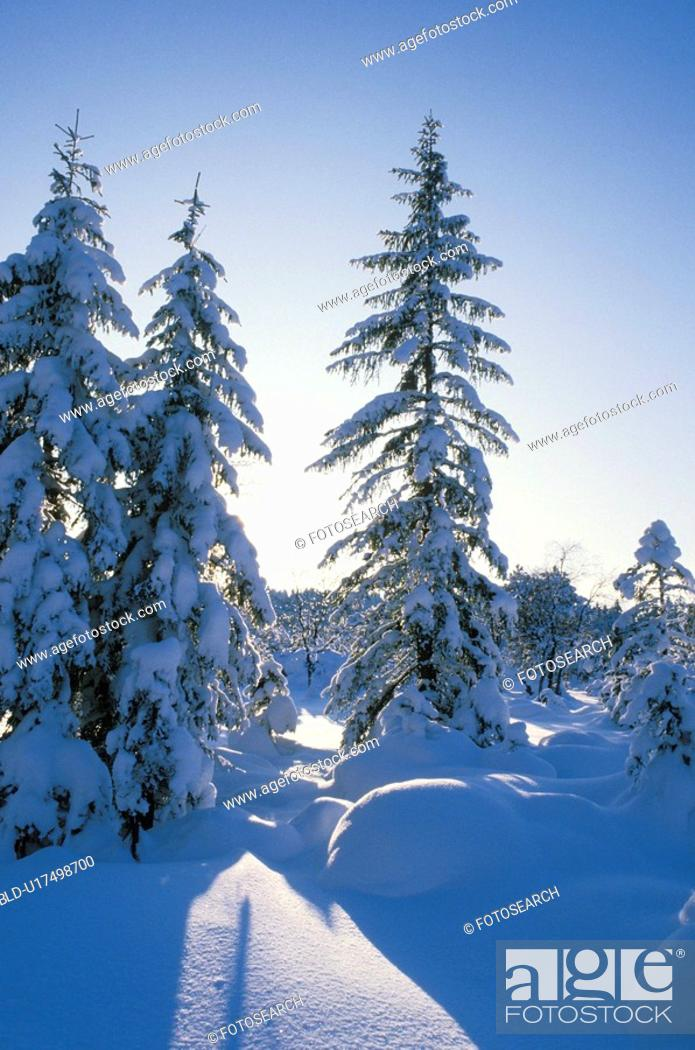 Stock Photo: fir, back light, dornbirn, cold, calf, forest, austria.