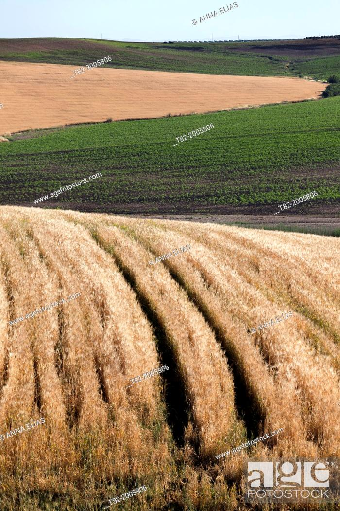 Stock Photo: agricultural landscape mosaic of ripe wheat and sunflower born during the summer, The Louisiana, Sevilla, Andalucia, Spain, Europe.
