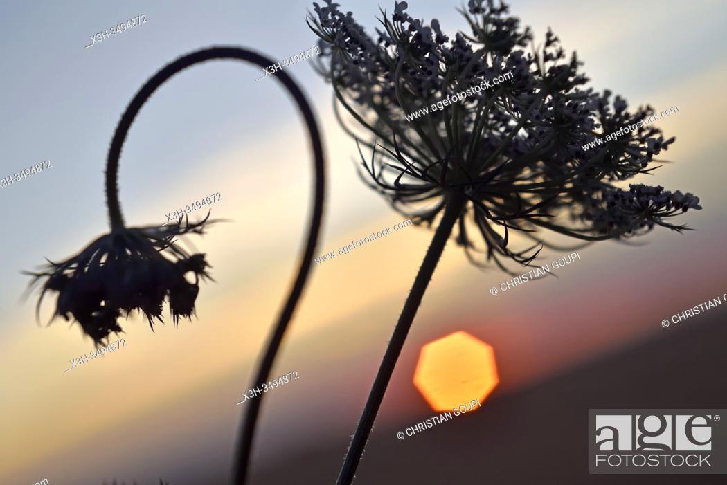 Stock Photo: umbellifers at sunset, Eure-et-Loir department, Centre-Val-de-Loire region, France, Europe.