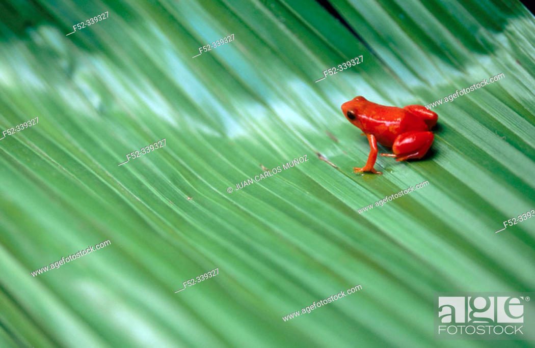 Stock Photo: Golden Mantella (Mantella aurantiaca). Madagascar.