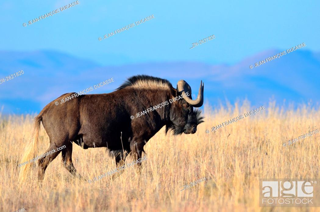 Stock Photo: Black wildebeest or White-tailed gnu (Connochaetes gnou), adult male, walking in dry grass, Mountain Zebra National Park, Eastern Cape, South Africa, Africa.