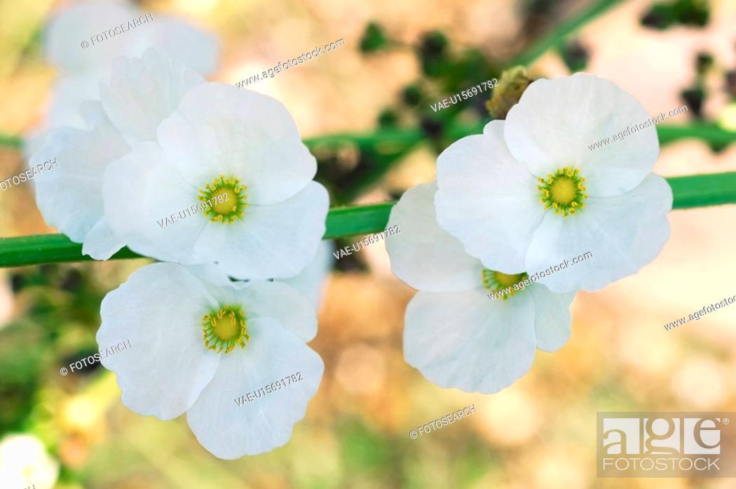 Stock Photo: Echinodorus grandiflorus subsp. Aureus.