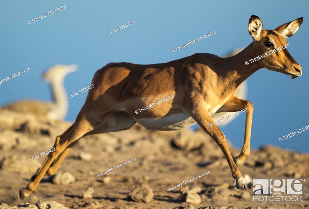 Stock Photo: Black-Faced Impala (Aepyceros melampus petersi) - Running female near a waterhole. In the background two Kori Bustards (Ardeotis kori).