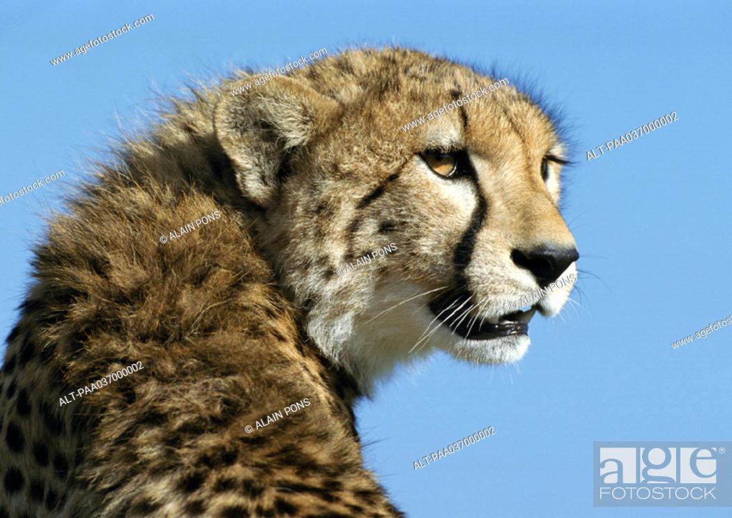 Stock Photo: Africa, Kenya, cheetah, focus on head.