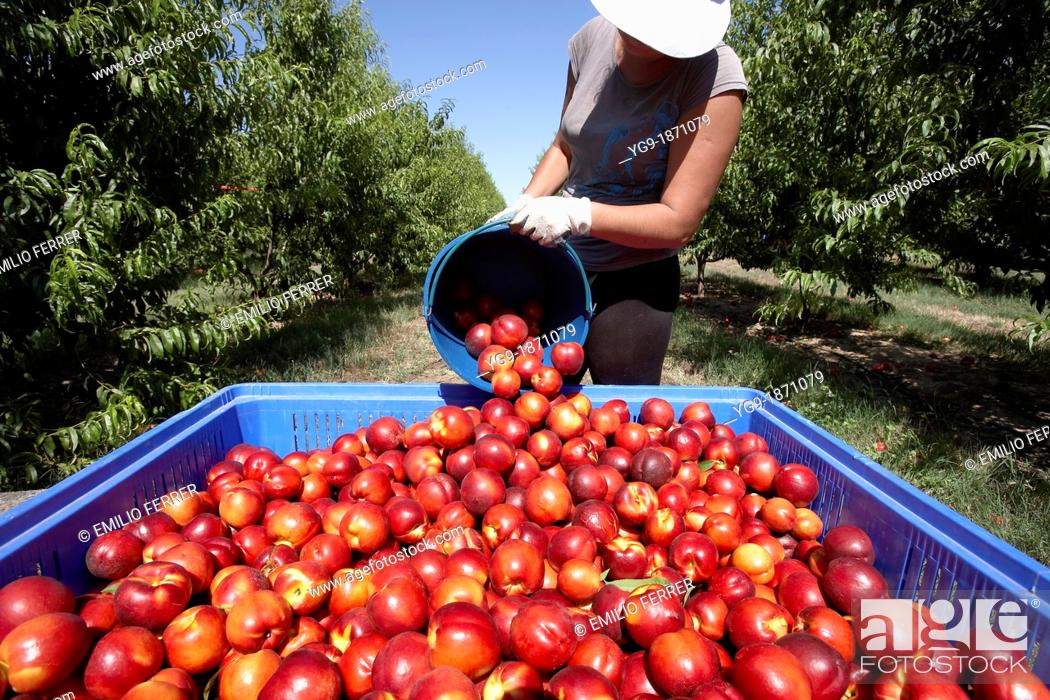 Stock Photo: Collecting nectarines from trees  LLeida  Spain.