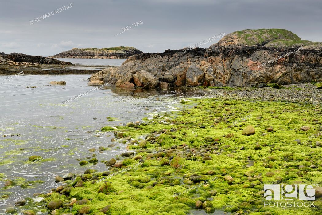 Stock Photo: Bright green string algae on rocks at shore of The Bay at the Back of the Ocean The Machair on Isle of Iona Inner Hebrides Scotland UK.