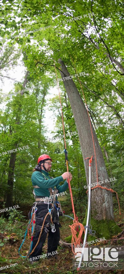 Stock Photo: Cone picker Stefan Teschke prepares to climb up into a Small-leaved Lime (lat: Tilia cordata) with a cutting arm in the city forest in Prenzlau, Germany.