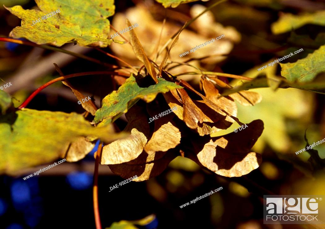 Stock Photo: Curly Maple or Norway Maple leaves (Acer platanoides), Aceraceae-Sapindaceae.