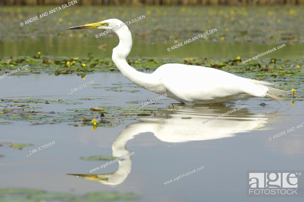 Stock Photo: Great Egret (Ardea alba), hunting fish with reflection in the water, Hortobagy national park, Hungary.