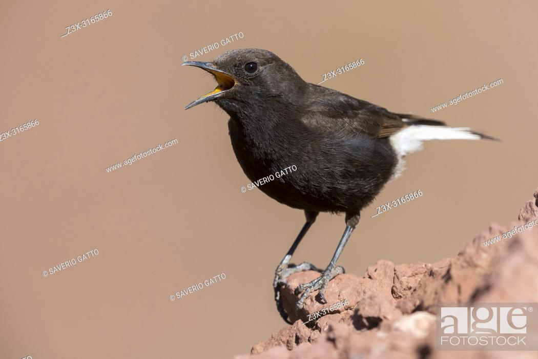 Stock Photo: Black Wheater (Oenanthe leucura syenitica), male singing from a rock in Morocco.
