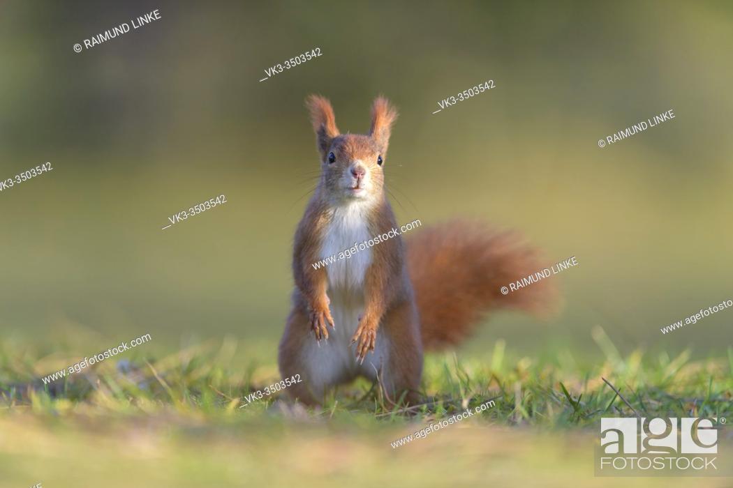 Photo de stock: Red Squirrel, Sciurus vulgaris.