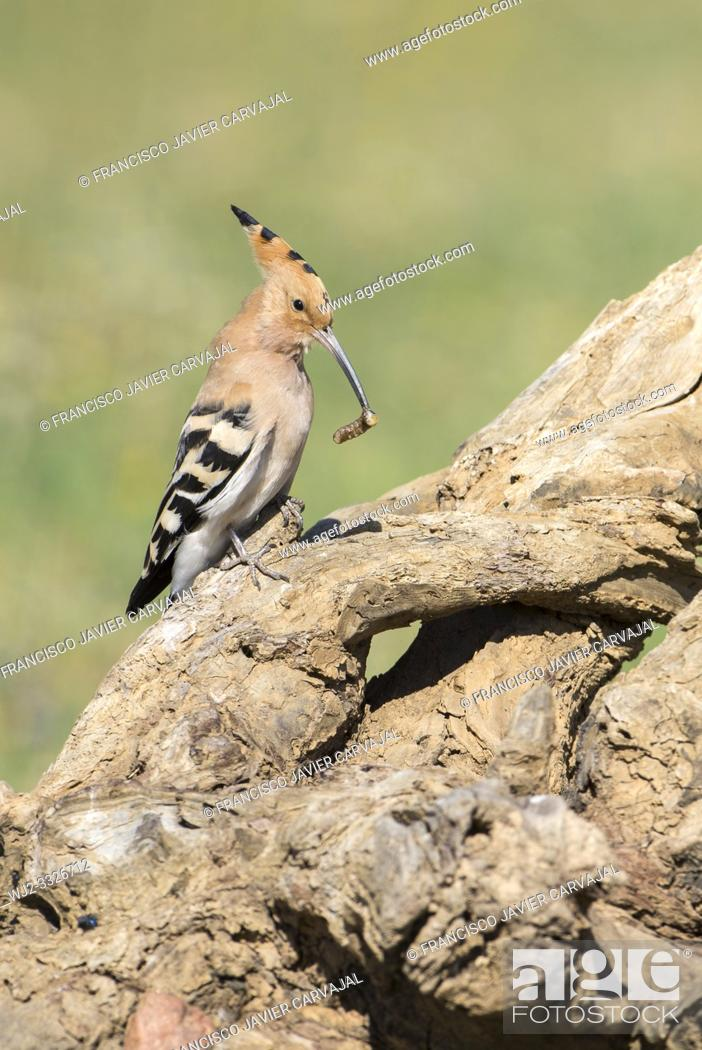 Stock Photo: Hoopoe (Upupa epops) on an old trunk, with a worm at the peak, Extremadura, Spain.