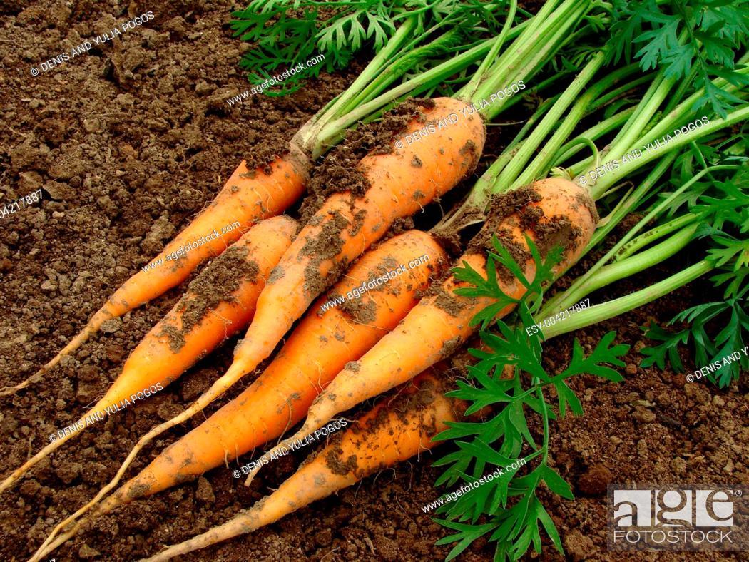 Stock Photo: carrots.