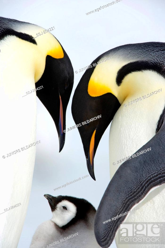 Stock Photo: Emperor Penguin (Aptenodytes forsteri). Parent birds with chick. Snow Hill Island, Antarctica.