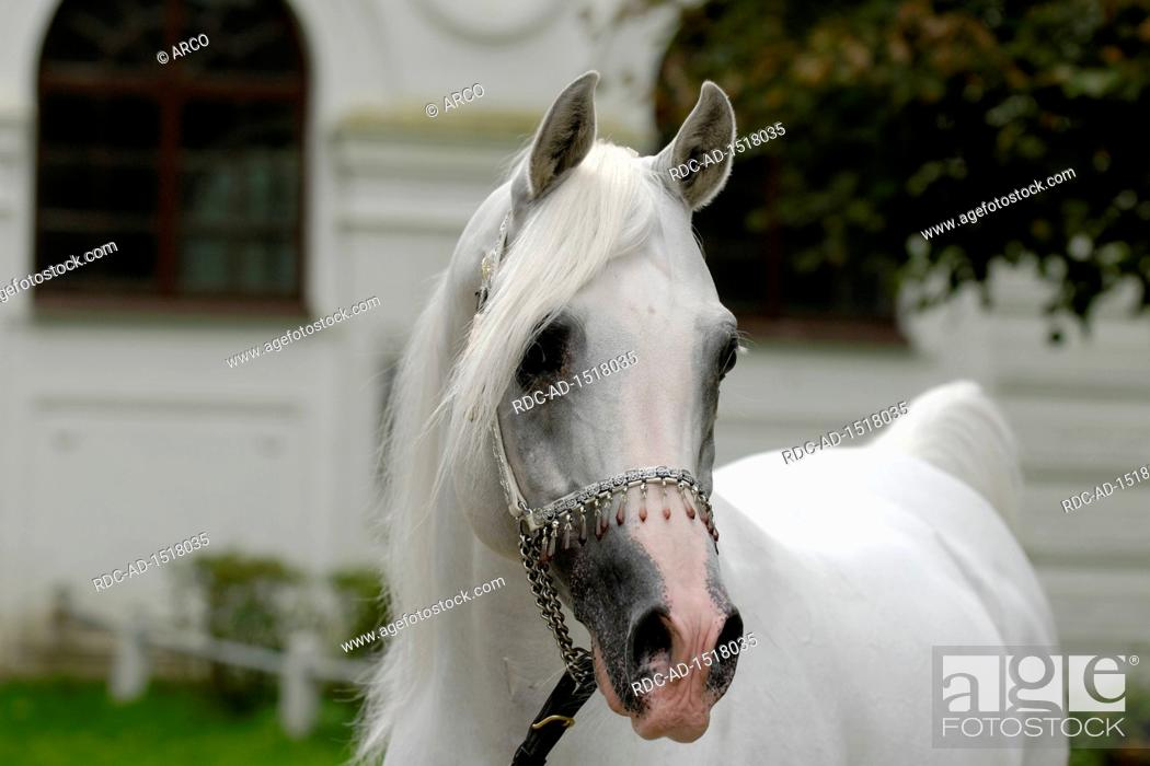 White Arabian Horse Stallion With Jewelry Holster Stock Photo Picture And Rights Managed Image Pic Rdc Ad 1518035 Agefotostock