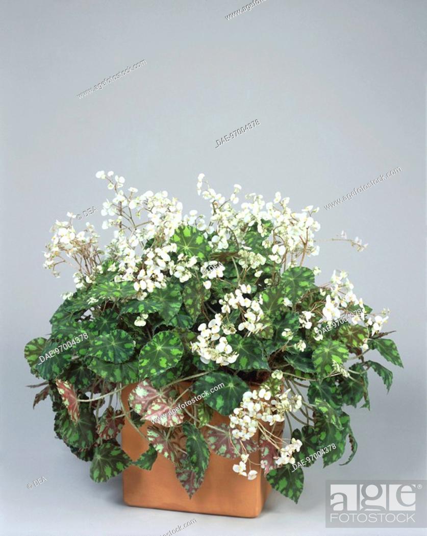 Stock Photo: Houseplants - Begoniaceae. Begonia boweri 'Tiger'.