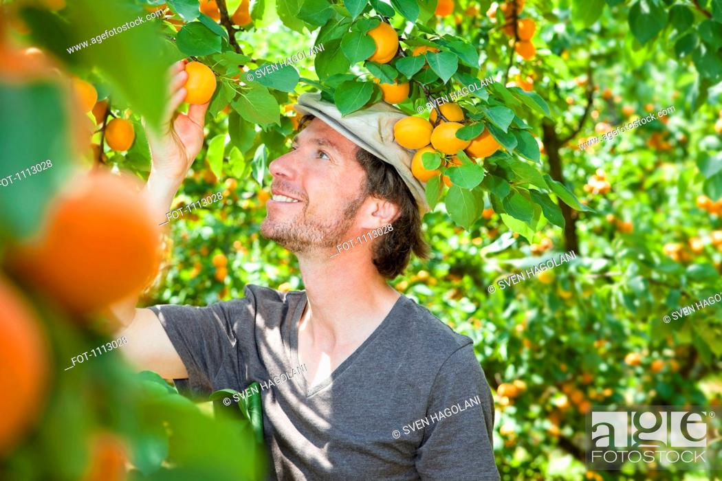 Stock Photo: A man picking an apricot off an apricot tree.