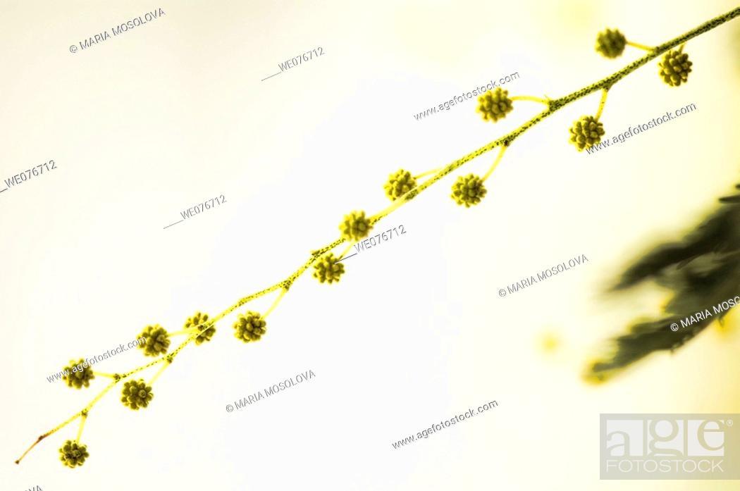 Stock Photo: Yellow Mimosa. Silver Wattle. Acacia dealbata. February 2007, Maryland, USA.