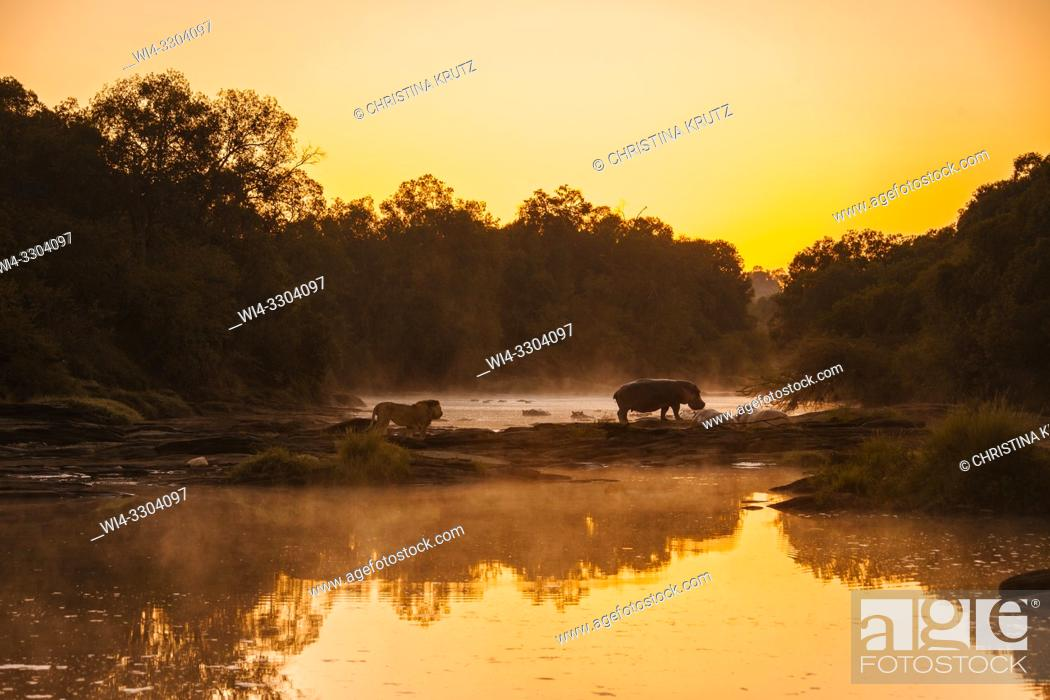 Stock Photo: Lion (Panthera leo) and Hippopotamus (Hippopotamus amphibus) standing on the edge of the Olare Orok River, Maasai Mara National Reserve, Kenya, Africa.