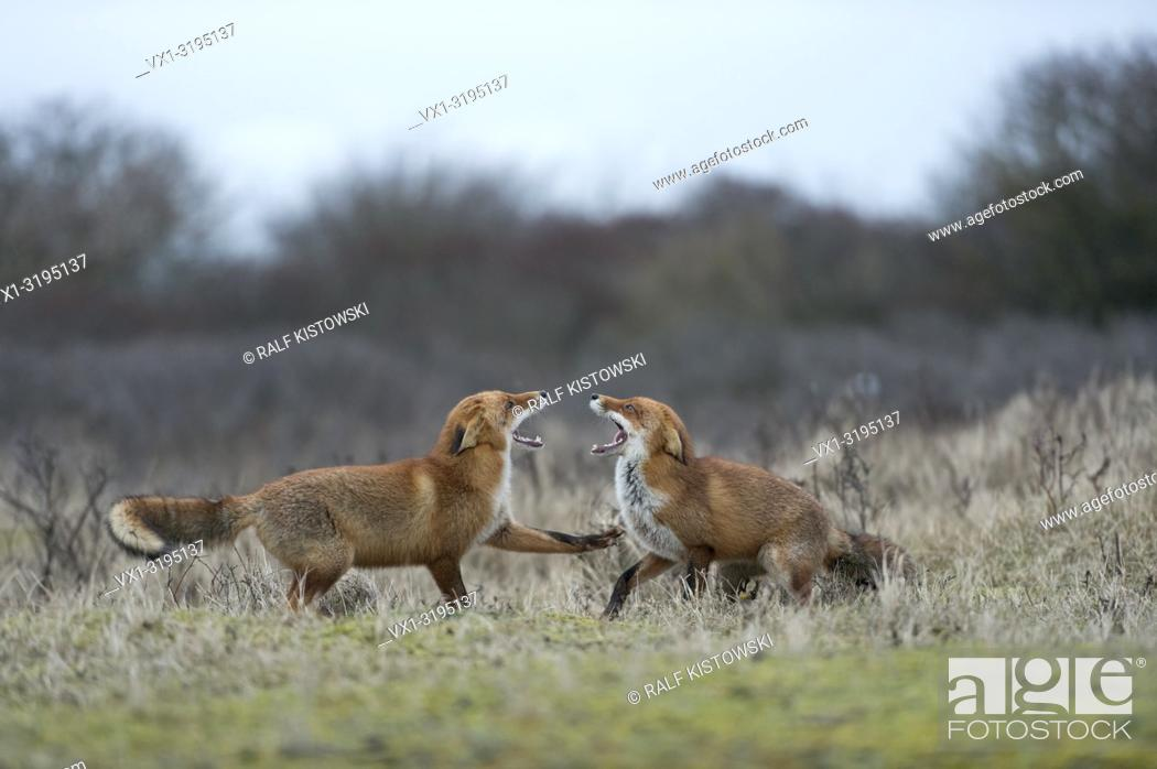 Stock Photo: Red Foxes (Vulpes vulpes) confront, opposing each other, threatening, chasing, fighting, showing teeth, rutting season.