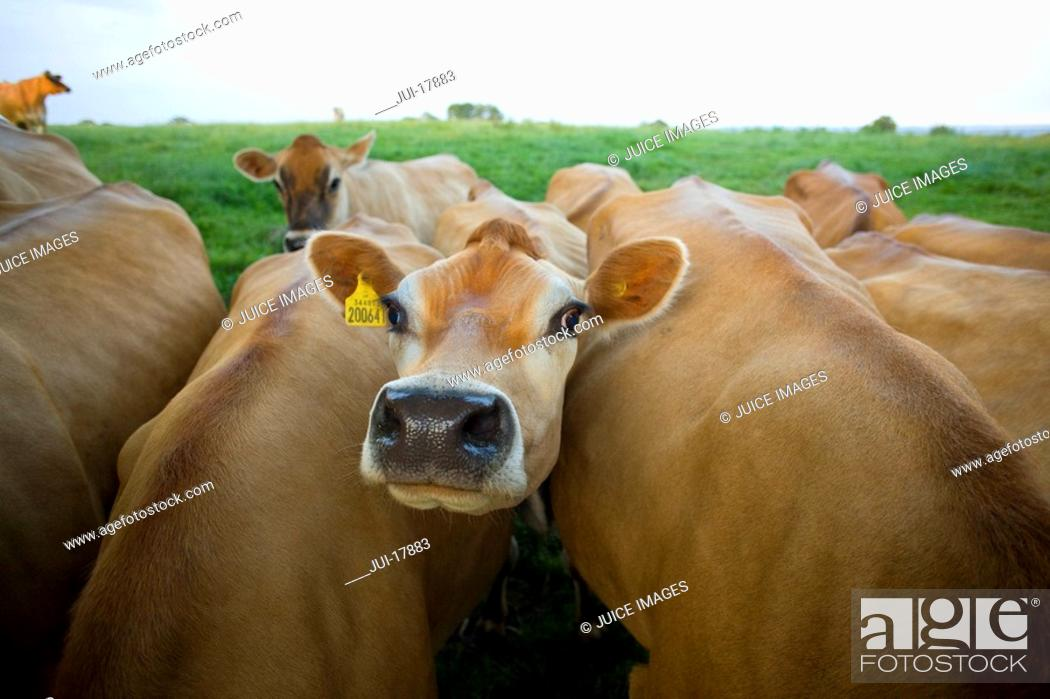 Stock Photo: Close up of jersey cows in field.