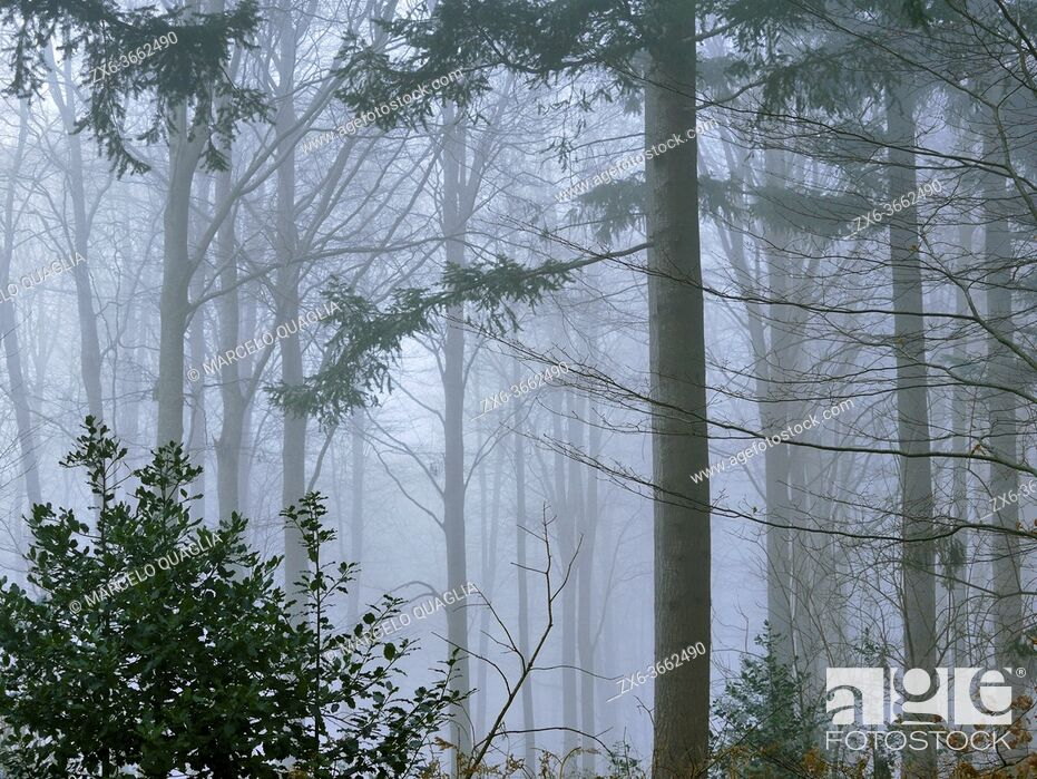 Stock Photo: Foggy winter European silver fir pine forest (Abies alba) at Pla del Rovirol site. Montseny Natural Park. Barcelona province, Catalonia, Spain.