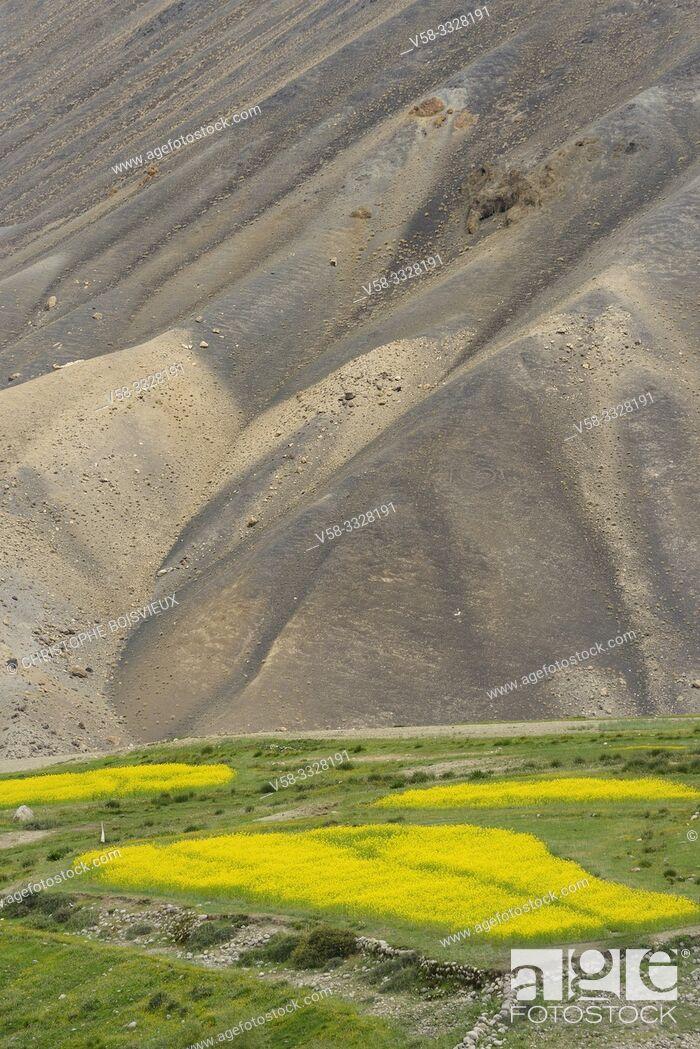 Stock Photo: India, Jammu & Kashmir, Ladakh, Khardung village, Mustard fields.