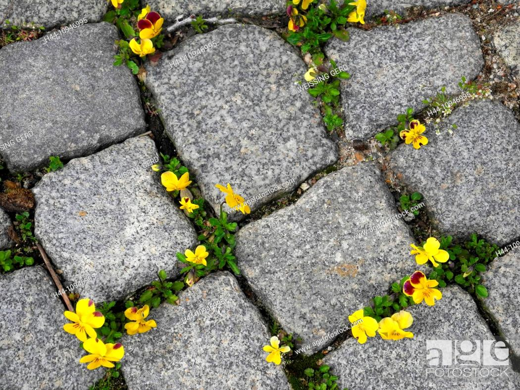 Stock Photo: Flowers, pansies, violas, wildly, paving-stones, to scratches, yellow, blossoms, flourishes, weed, survive,.
