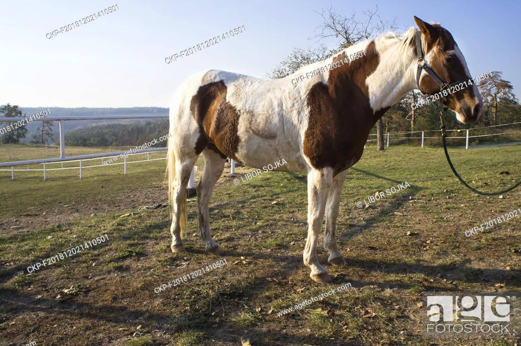 The Appaloosa A Horse Breed Best Known For Its Colorful Leopard Spotted Coat Pattern Stock Photo Picture And Rights Managed Image Pic Ckp F201812021410501 Agefotostock