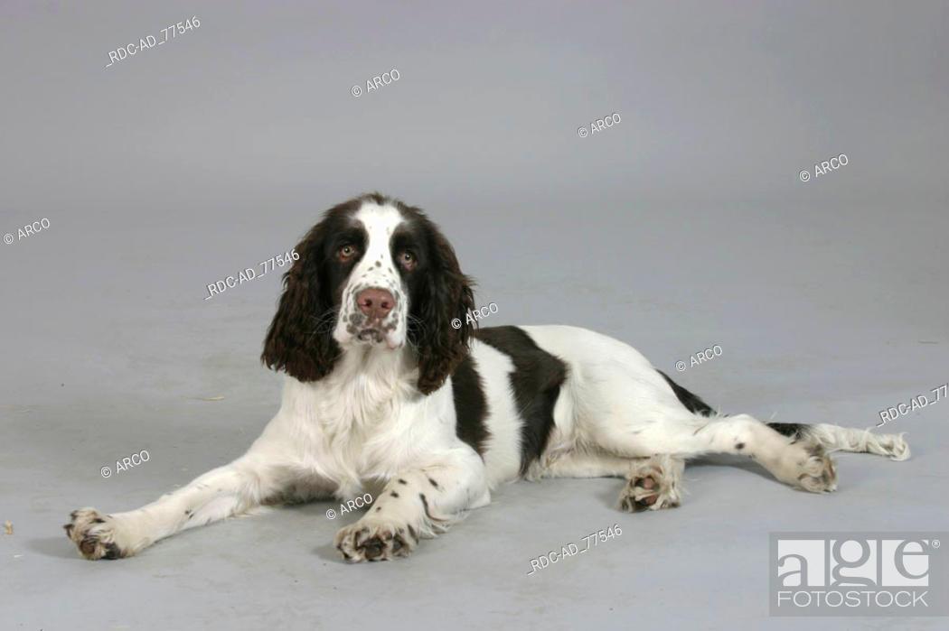 Stock Photo: English Springer Spaniel puppy 6 month.