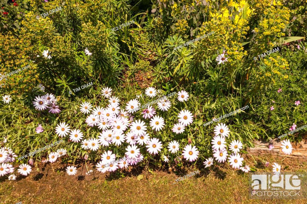 Stock Photo: Cape Daisy daisies growing in a Uk garden.