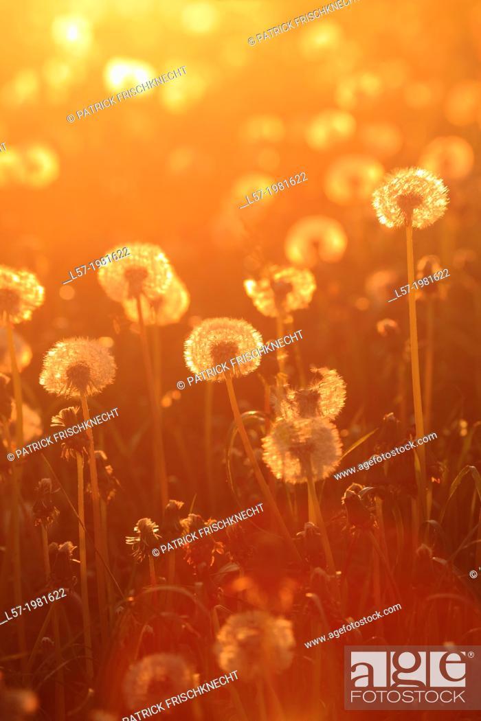 Stock Photo: field of dandelion, Switzerland.