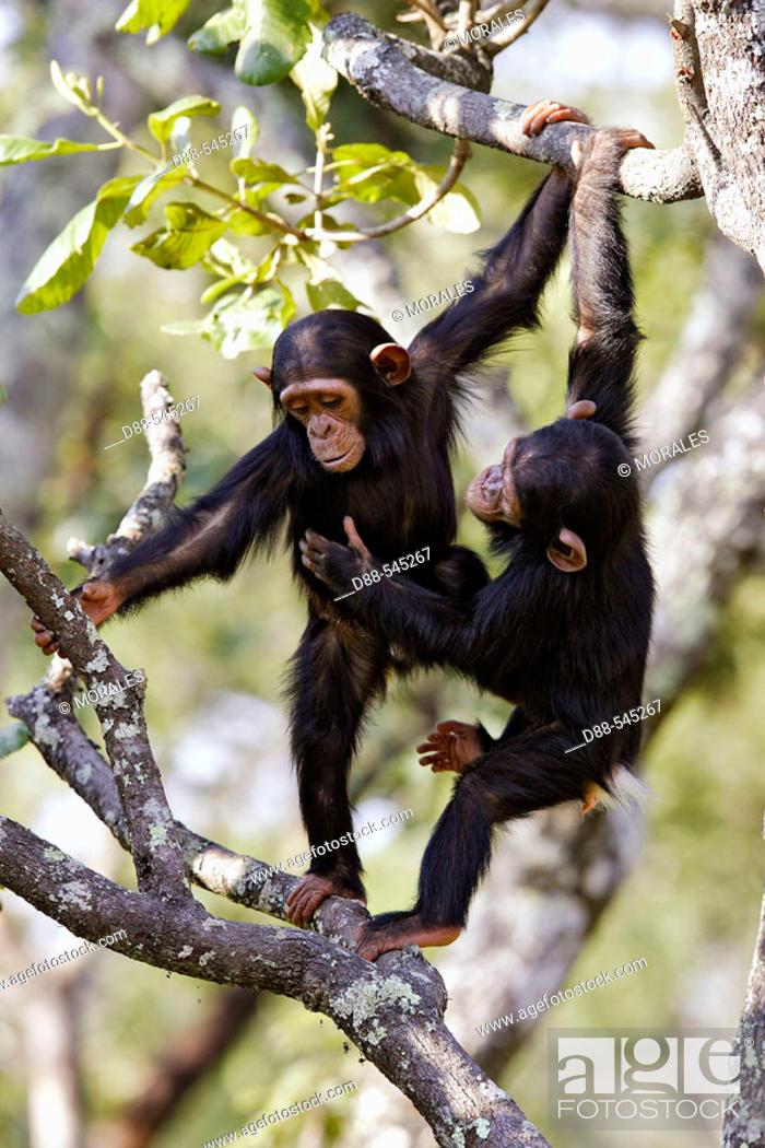 Stock Photo: Chimpazee (Pan troglodytes).