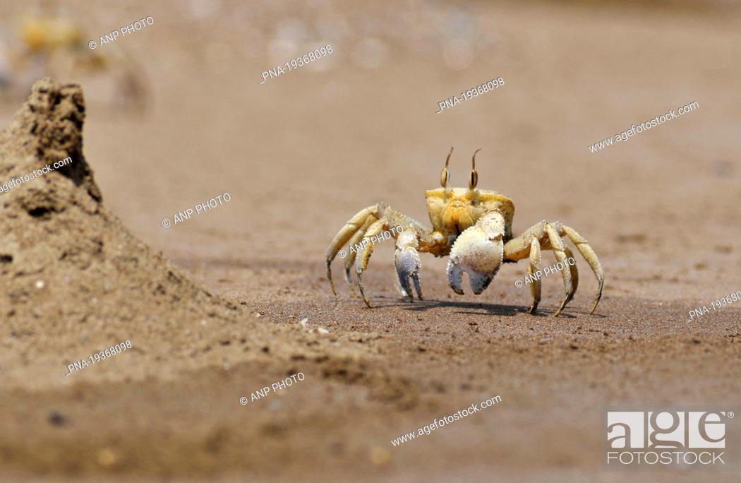 Stock Photo: Fiddler Crab Uca spec. - Oman, Asia.