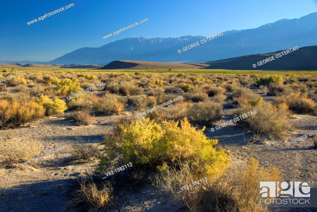 Stock Photo: Rabbitbrush flat, Fish Slough Area of Critical Environmental Concern, Bishop District Bureau of Land Management, California.