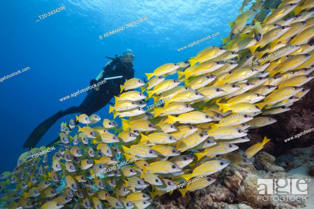 Stock Photo: Shoal of Bluestripe Snapper, Lutjanus kasmira, Felidhu Atoll, Indian Ocean, Maldives.